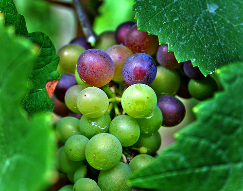 Oregon Wine Grapes