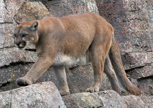Annoyed Mountain Lion